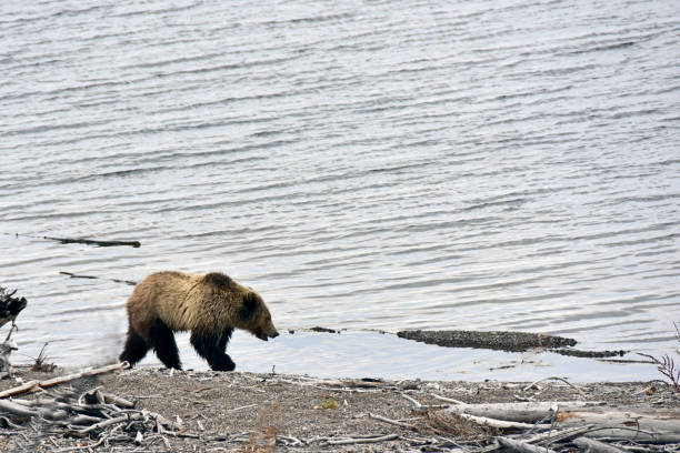 Grizzlybär (1) – Foto