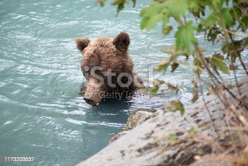 Male grizzly bear searching for salmon
