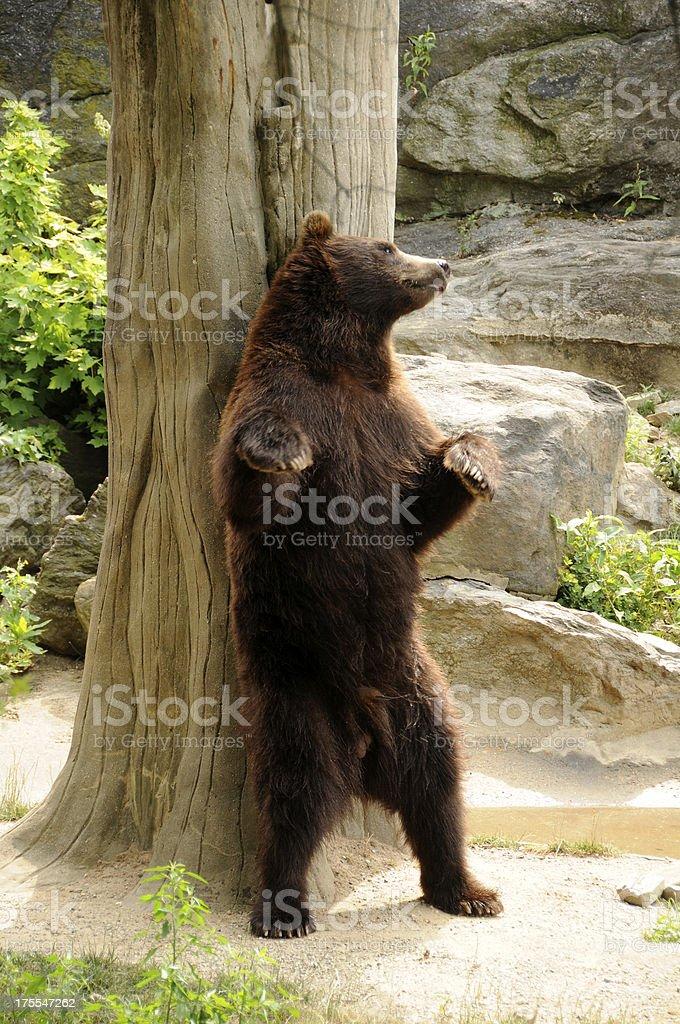 Grizzly Bear - foto de acervo