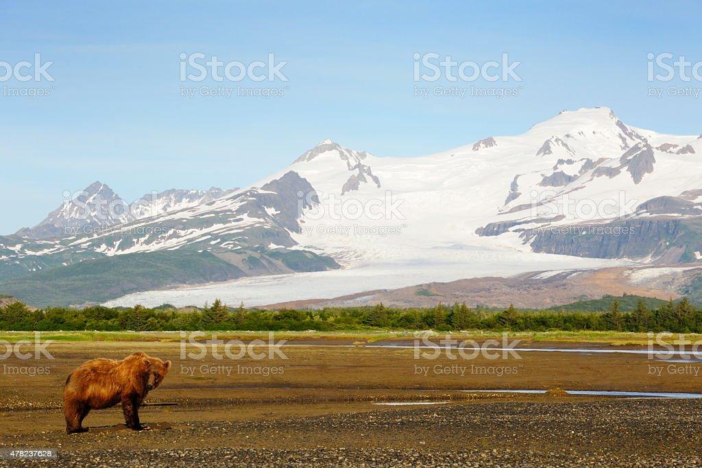 Grizzly Bear ( Urus arctos horribilis) stock photo