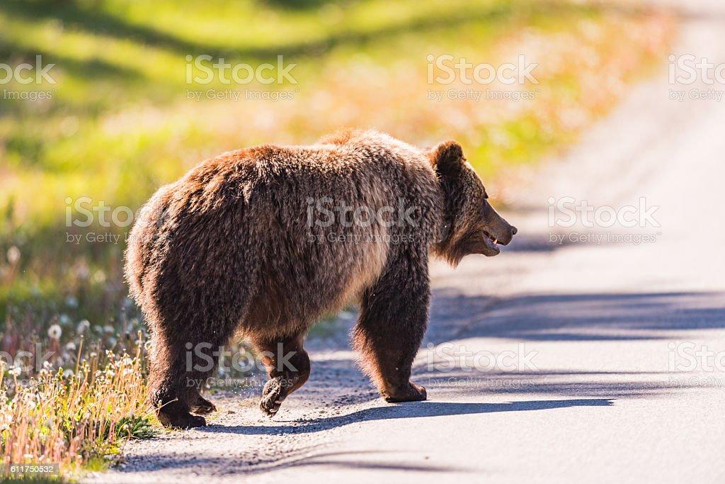 Grizzly Bear (Ursus arctos horribilis) foto