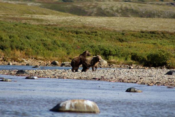 grizzly  - grande ourse photos et images de collection