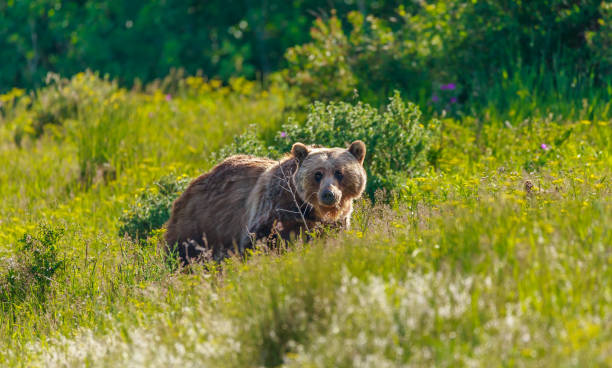 grizzly bear - us glacier national park stock pictures, royalty-free photos & images