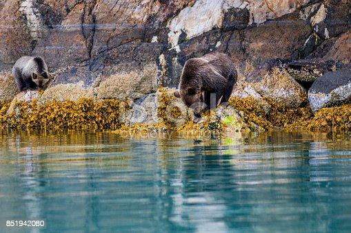 grizzly bear- Great Bear Rainforest Canada