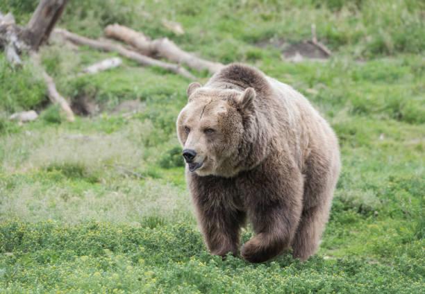 Grizzly Bear Portrait stock photo