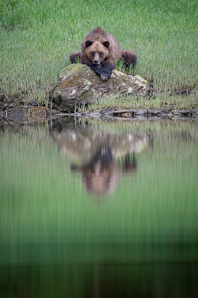 Grizzly Bear Reflection, Khutzeymateen stock photo