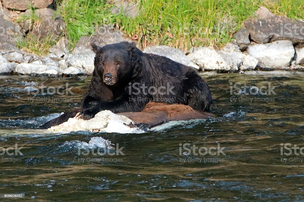 Grizzly Bear Resting On Dead Buffalo Carcass In Yellowstone River