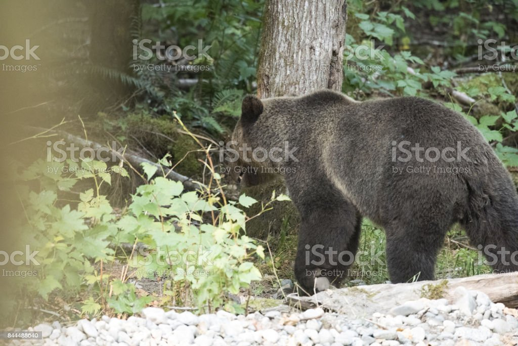 Grizzly Bear retreating into forest stock photo