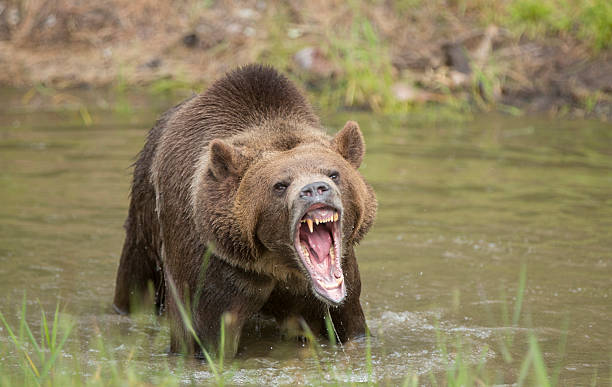 grizzly bear roar - ours photos et images de collection