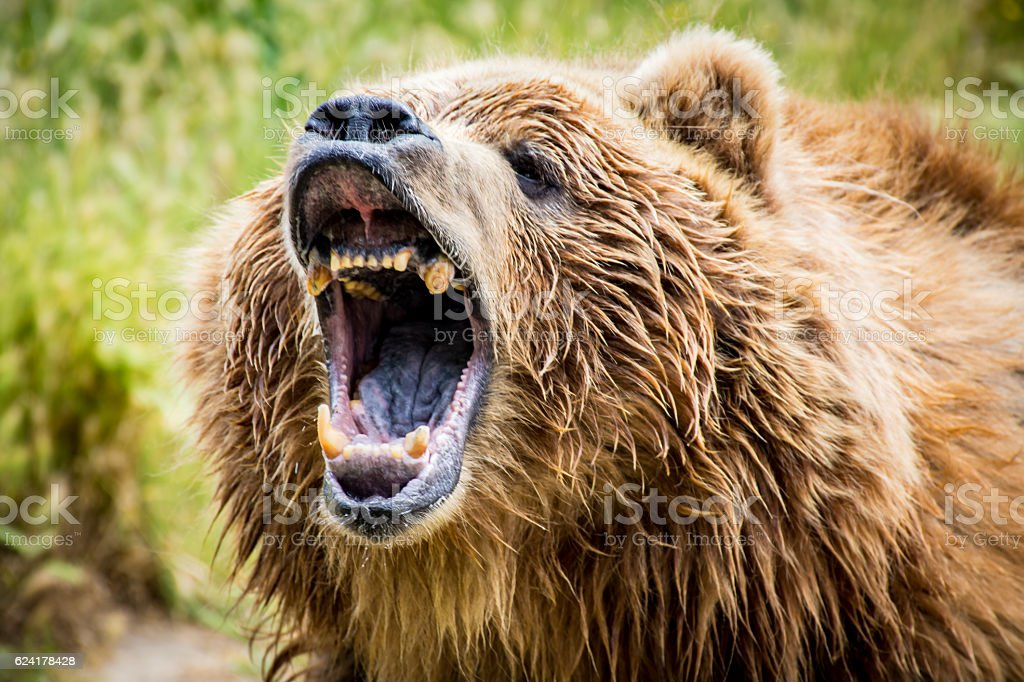 Grizzly Bear rugido - foto de stock