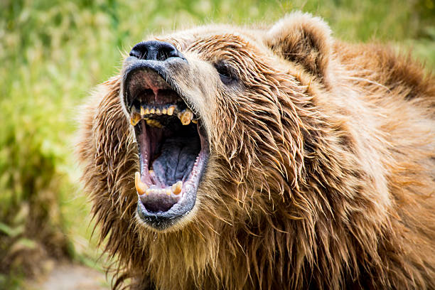 Grizzly Bear Roar​​​ foto