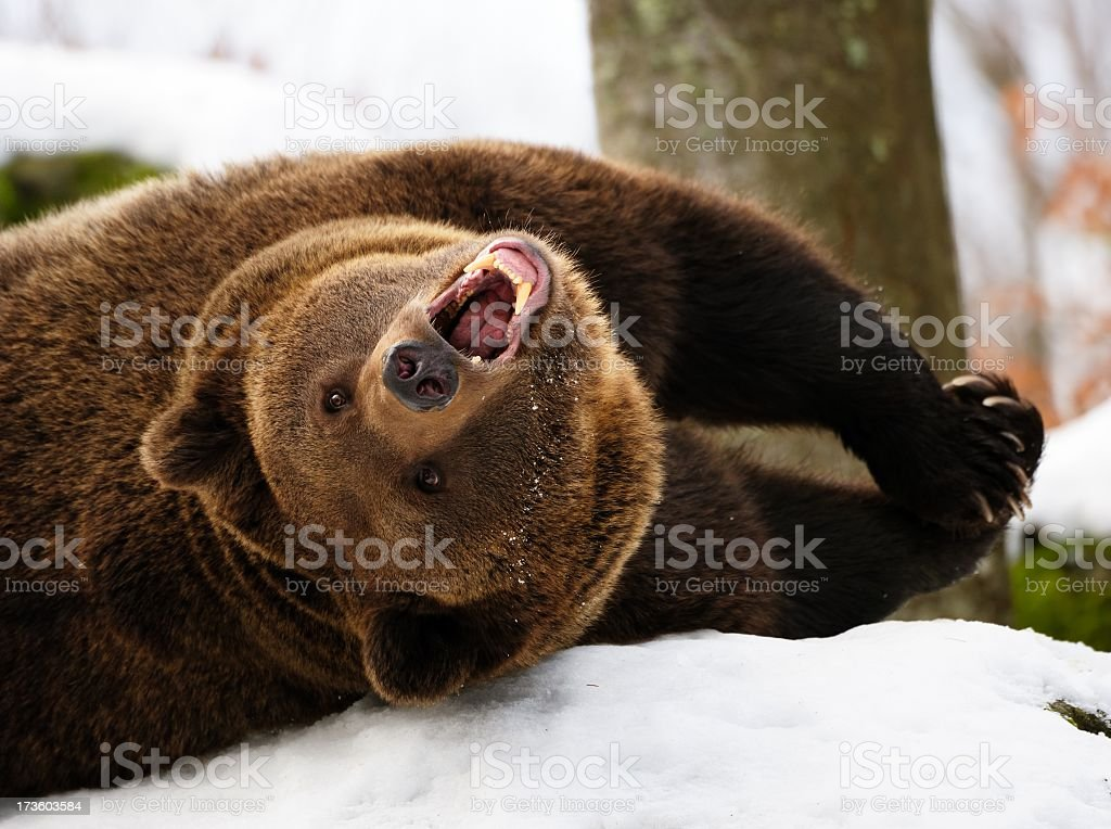 Grizzly bear rolling in the snow with teeth bared stock photo