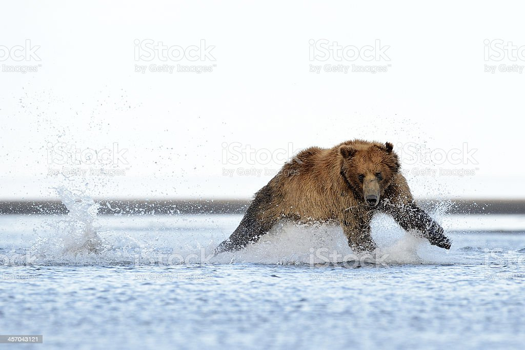 A grizzly bear running through shallow water stock photo