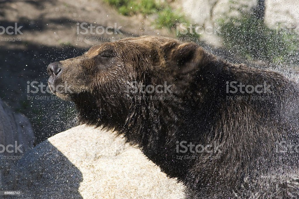 Grizzly Bear Shaking Water Off royalty-free stock photo