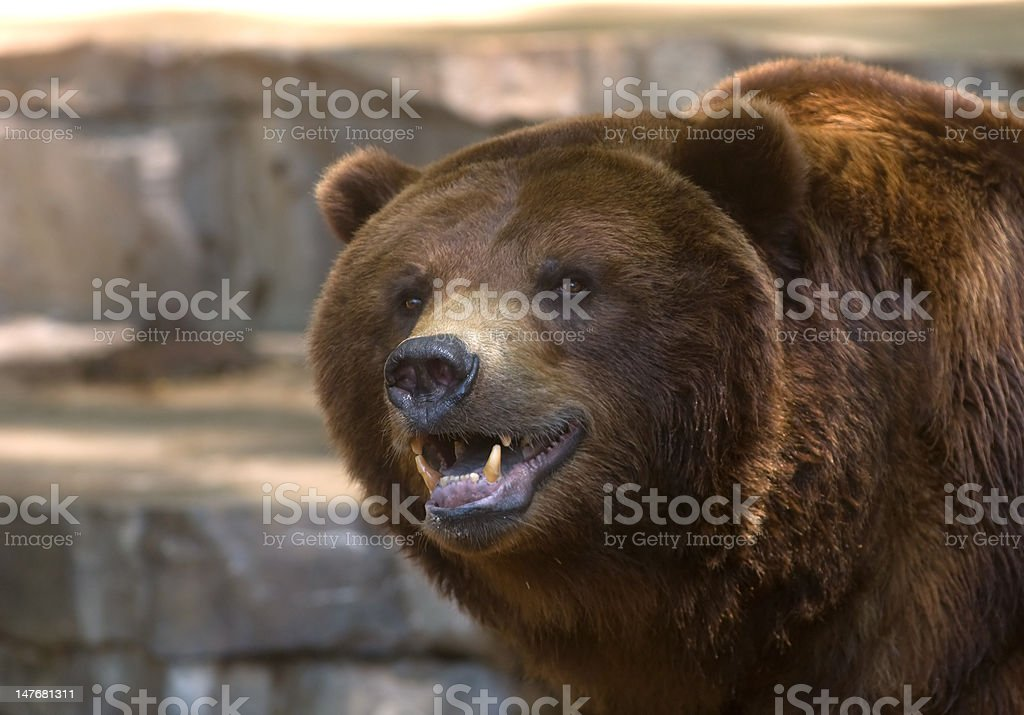 Grizzly bear showing its teeth stock photo