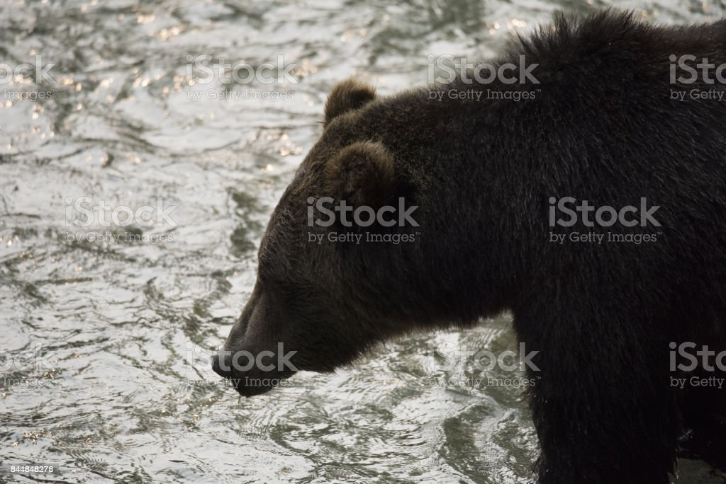 Grizzly Bear silhouette stock photo