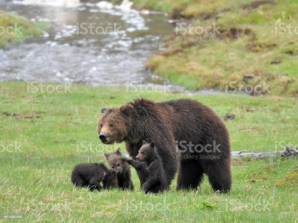 Grizzly Bear sow and cubs  Sow grizzly looks after her spring cubs in Yellowstone national park Animal Stock Photo