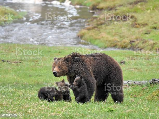 Grizzly Bear Sow And Cubs Stock Photo - Download Image Now