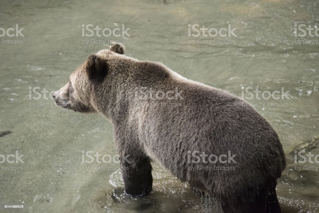 Grizzly Bear standing in a stream and waiting for salmon stock photo