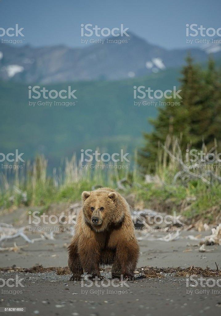 Ausgezeichnet Grizzlybär Färbung Seite Zeitgenössisch - Druckbare ...