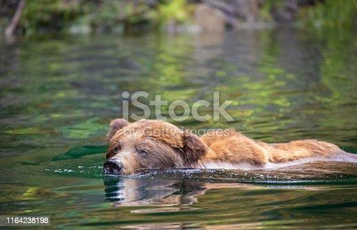 Grizzly Bear Swimming, Khutzymateen Wildlife Refuge, Great Bear Rainforest, British Columbia, Canada