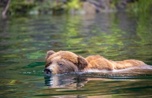 Grizzly Bear Swimming in Canada's Great Bear Rainforest stock photo