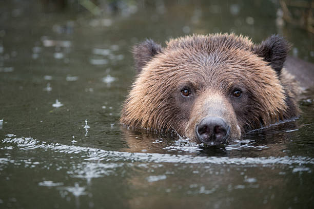 Grizzly Bear Swimming, Mussel Inlet, BC stock photo