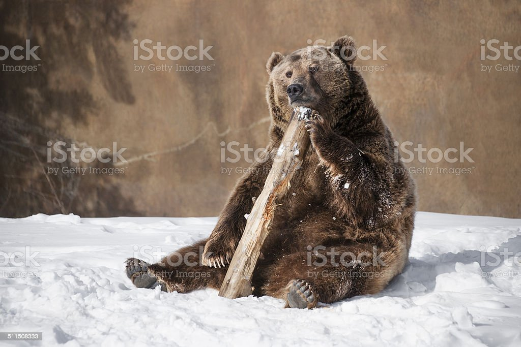 Grizzly bear thinking about something stock photo