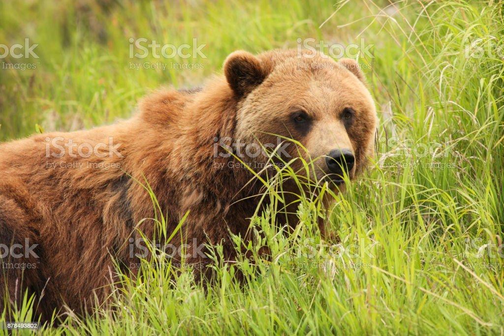 Grizzly Bear Ursus arctos Alaskan Coastal Brown stock photo