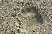 Grizzly Bear Ursus horribilis Paw Track