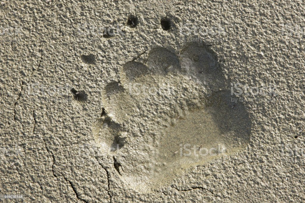 Grizzly Bear Ursus horribilis Paw Track stock photo