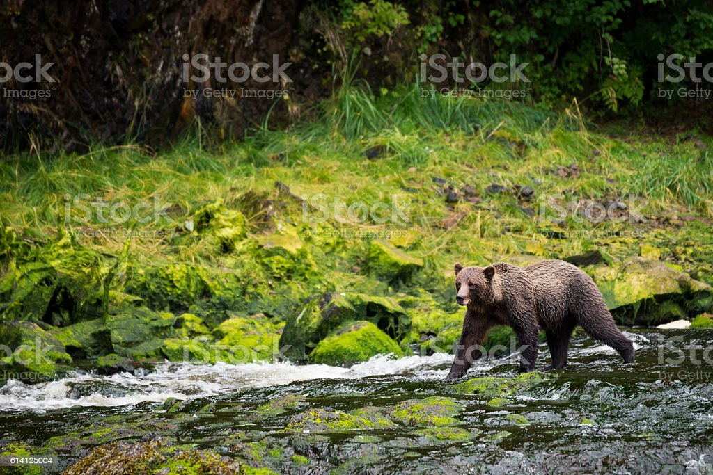 Grizzly bear walking down river stock photo