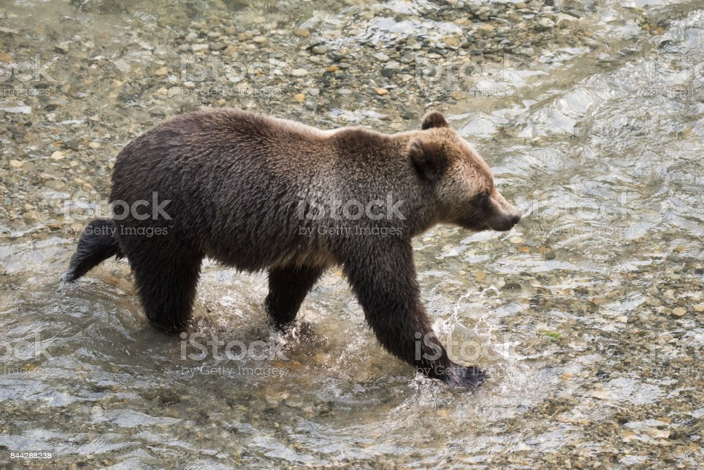 Grizzly Bear walking in a fish stream stock photo