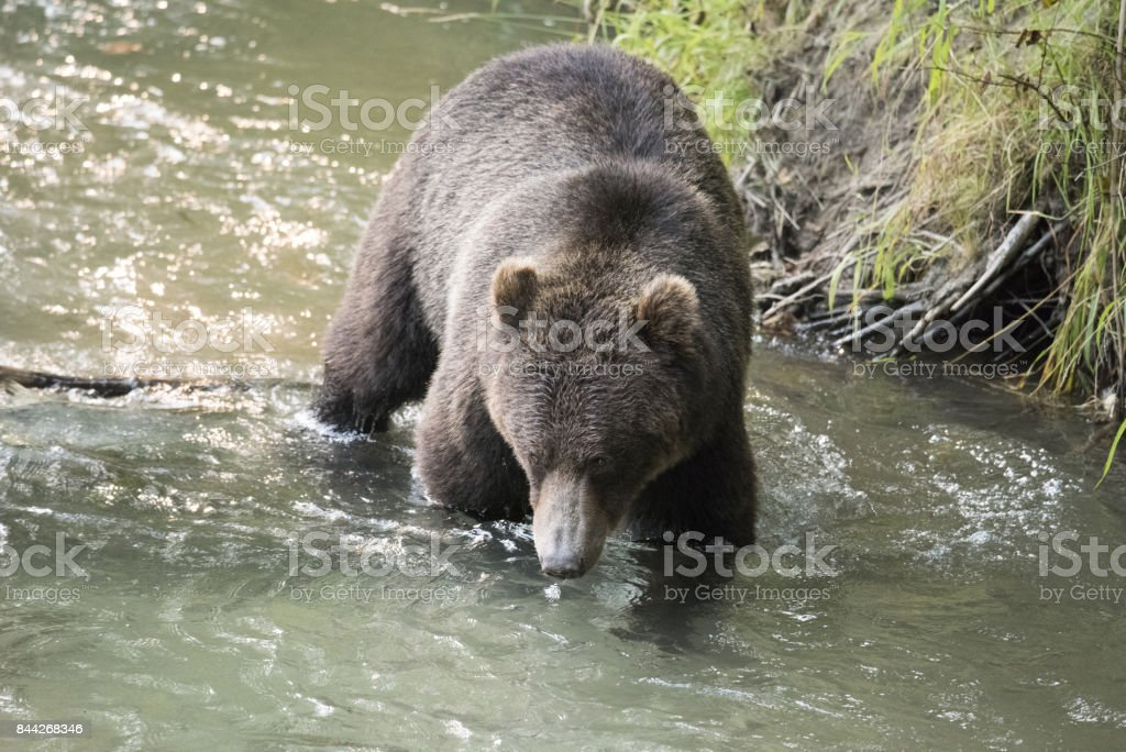 Grizzly bear walking in water stock photo