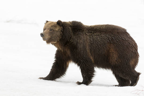Grizzly bear walking on deep snow at beginning of spring stock photo