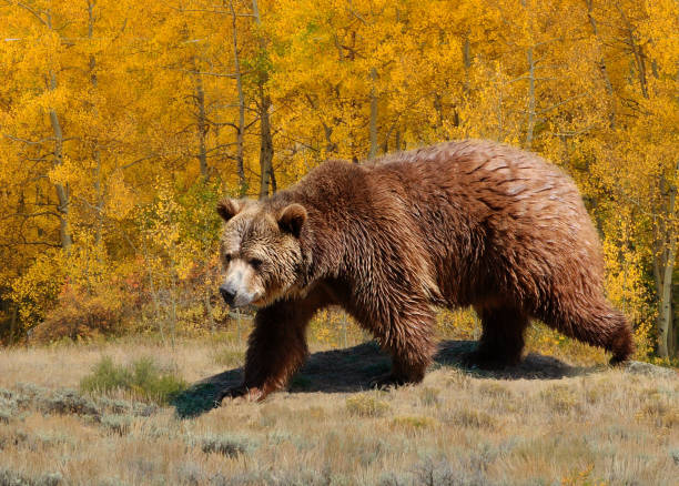 Grizzly bear walking through meadow with aspen trees in fall stock photo