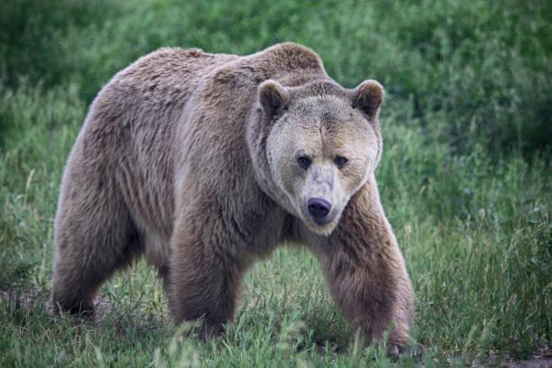A grizzly bear walks face forward. stock photo