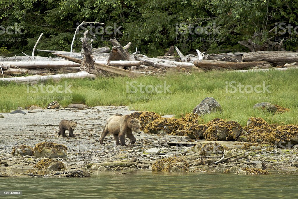 Grizzly bear with cub royalty-free stock photo