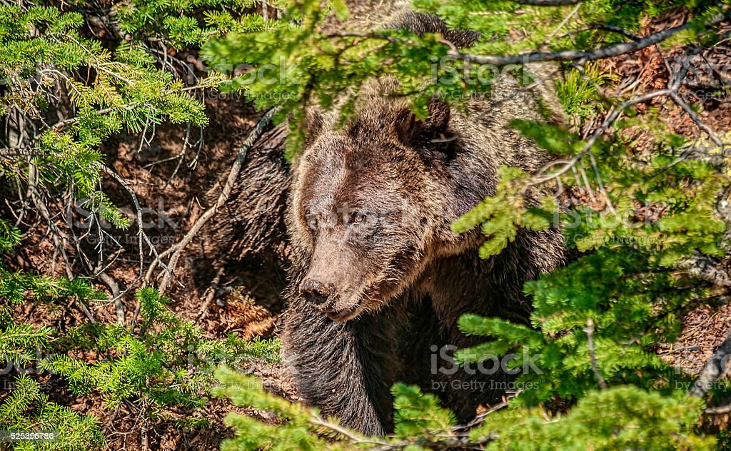 Grizzly Bear with Dirty Nose digs in Yellowstone National Park stock photo