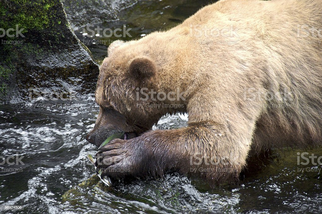 Grizzly Bear with Pink Salmon royalty-free stock photo
