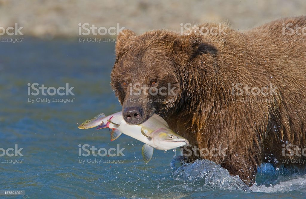 Grizzly Bear with Salmon royalty-free stock photo