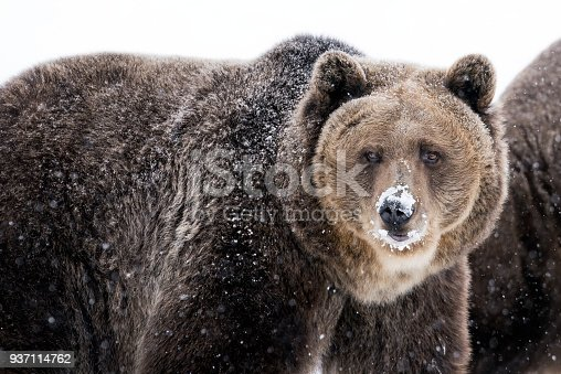 Close up view of a grizzly brown bear staring into the camera on a winter day, Montana, USA