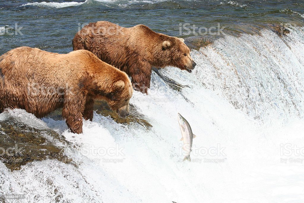 Grizzly bears at Brooks Falls catching Salmon stock photo