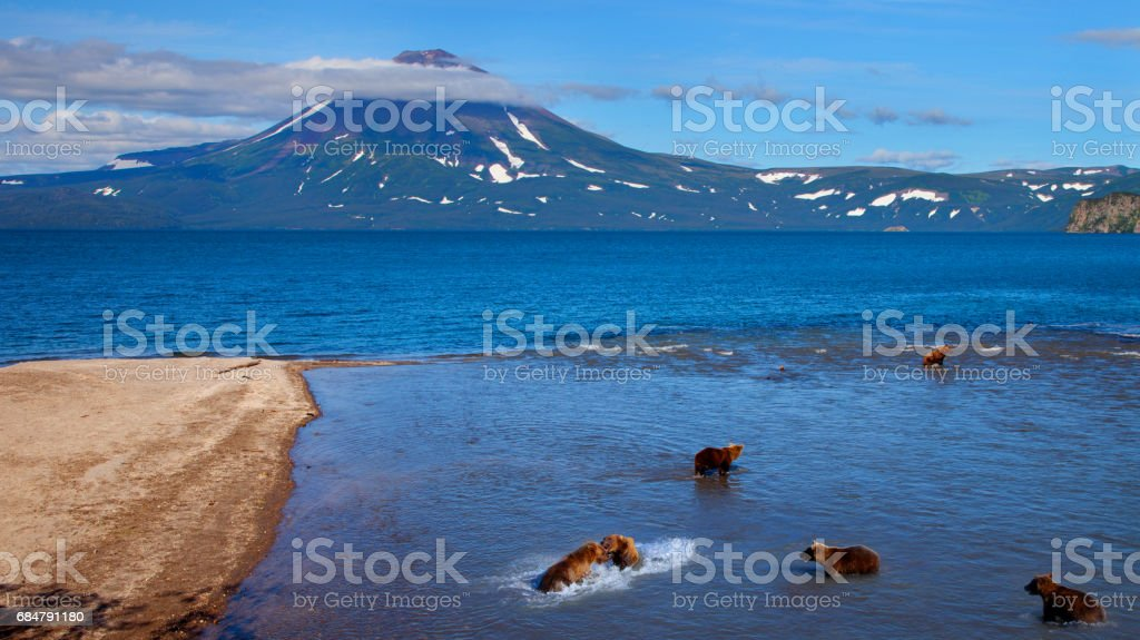 Grizzly Bears Catching Salmon stock photo