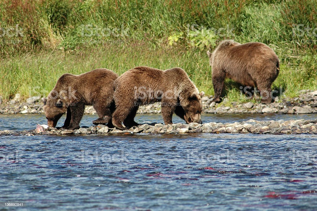 Grizzly bears eating salmon in river  ,Katmai National Park,Alaska. stock photo