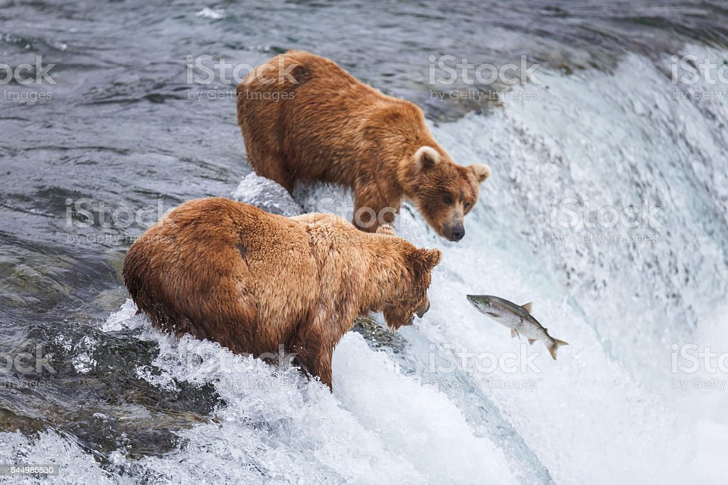Grizzly Bears Fishing For Salmon stock photo