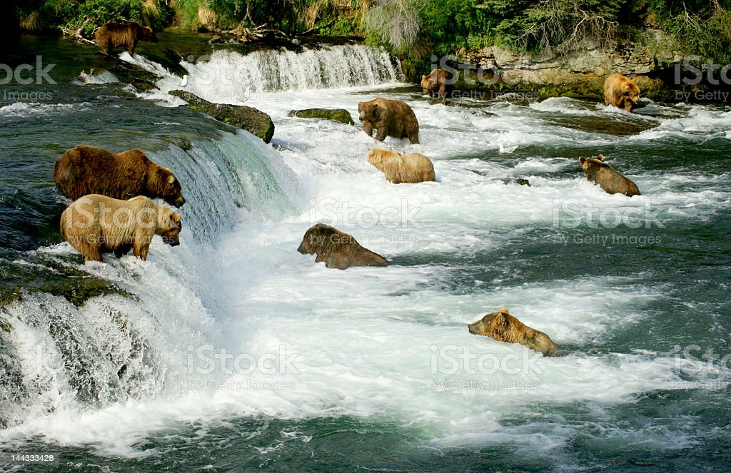 Grizzly bears in a river with a myriad of small waterfalls stock photo