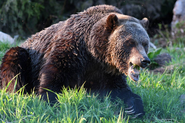 Grizzly Bears in British Columbia, Canada stock photo