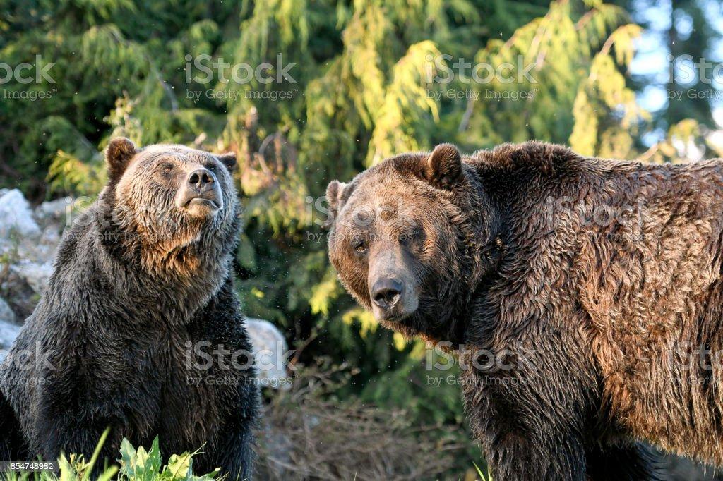 Grizzly Bären in British Columbia, Kanada – Foto