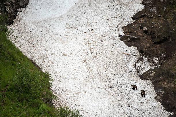 Grizzly Bears on a Glacier, Khutzeymateen stock photo